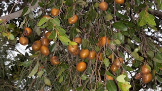 nonda plum images wallpaper