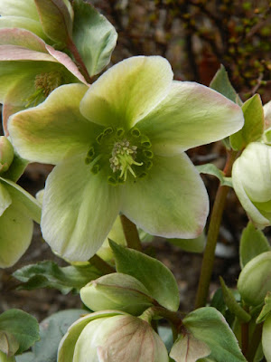 Ivory Prince Hellebore spring flowers by garden muses-not another Toronto gardening blog
