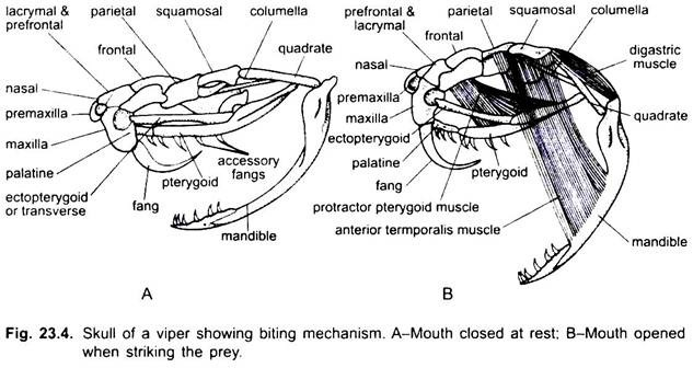 biting mechanism of snake