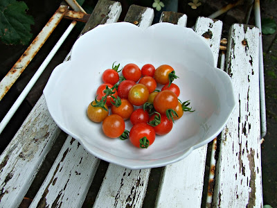 tomaten-oogst