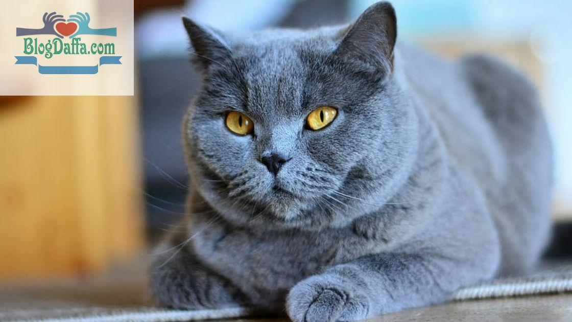 Kucing Rusian Blue