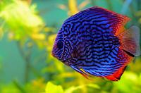 Ikan Discus Jantan dan Betina
