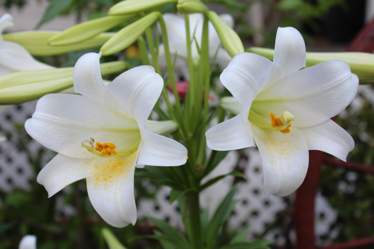 How To Take Care Of Easter Lily! Garden Bible
