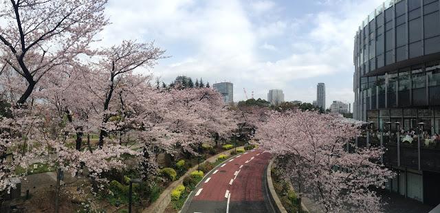 Roppongi cherry blossom