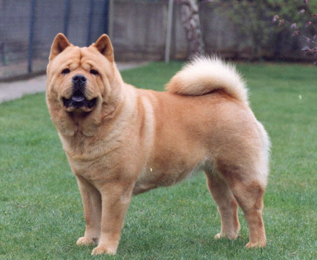 Are Chow Chow Dogs Friendly