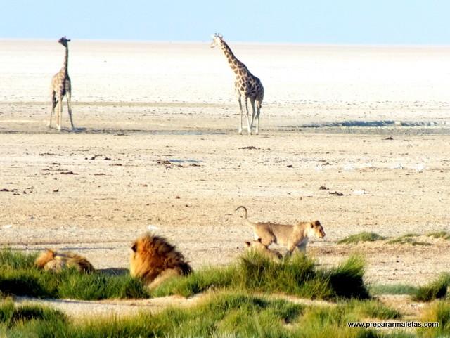 leones en etosha namibia