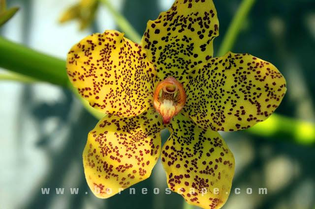 flower of Grammatophyllum speciosum
