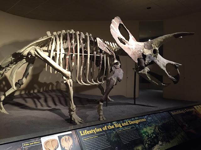 Torosaurus skeleton at the Milwaukee Public Museum.