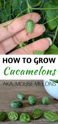 growing cucamelons | gardening