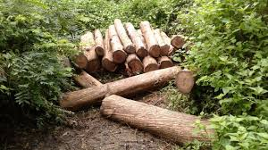 Illegal tree felling in nigeria