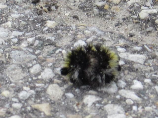 Virgina ctenuchid caterpillar