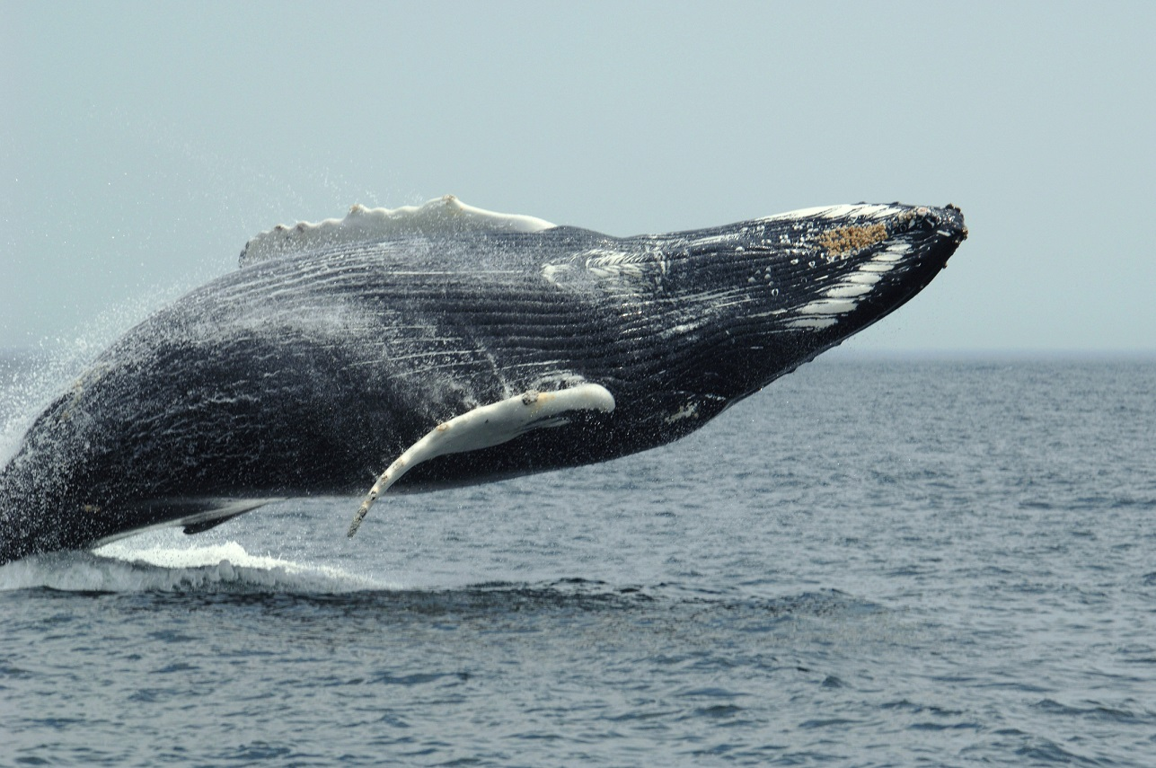 humpback whale facts - 1024×680