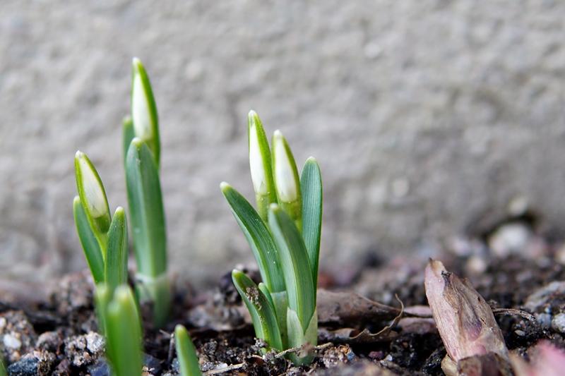 lumikello, kevätkukka