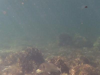 foto de dorada nadando libre en su medio