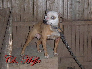 Pit Dog Report: CH SIZE UP'S HEFFA