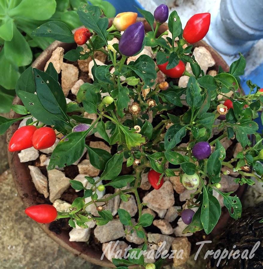 El Ají o Pimiento de Jardín, Capsicum annuum