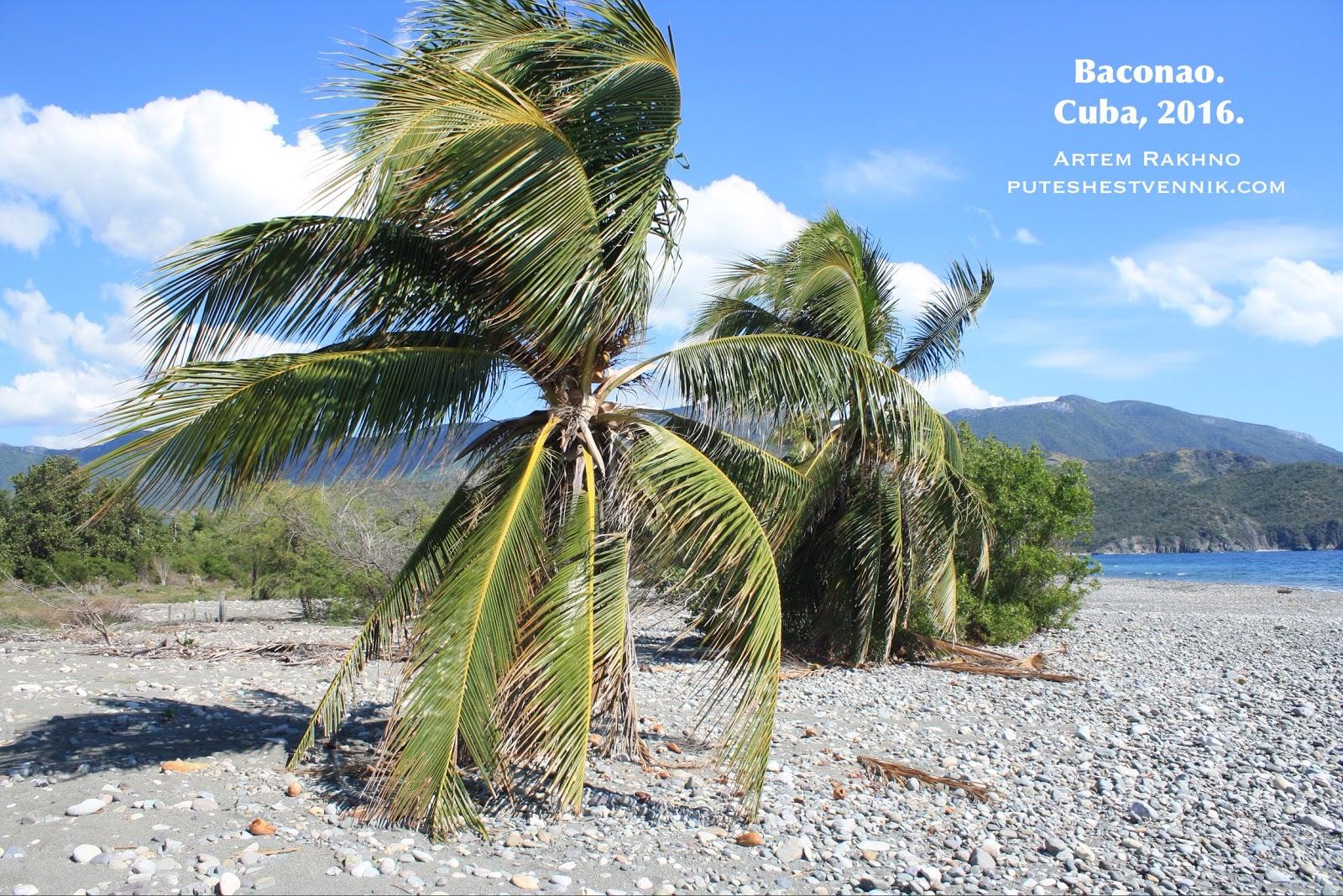 Кокосовые пальмы на Кубе