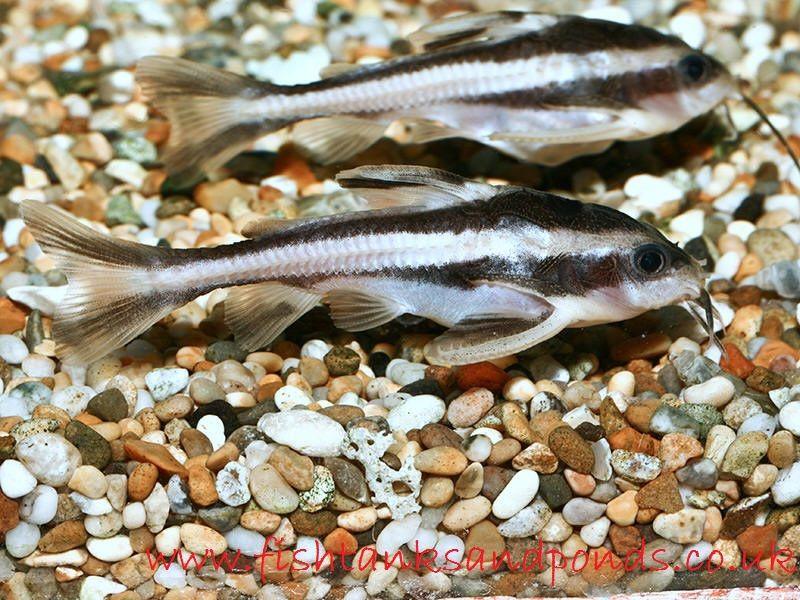 Gambar  Talking Catfish Jenis Jenis Ikan Catfish Atau Lele Hias