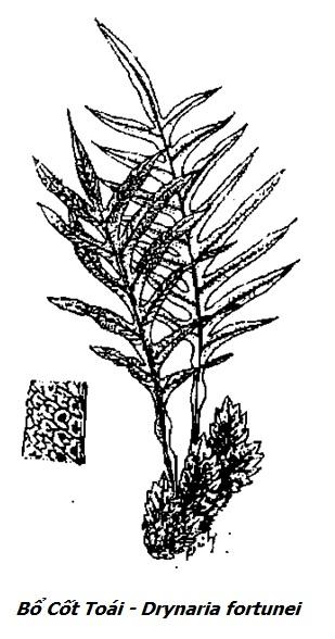 Hình vẽ Bổ Cốt Toái - Drynaria fortunei - Nguyên liệu làm thuốc Chữa Tê Thấp và Đau Nhức