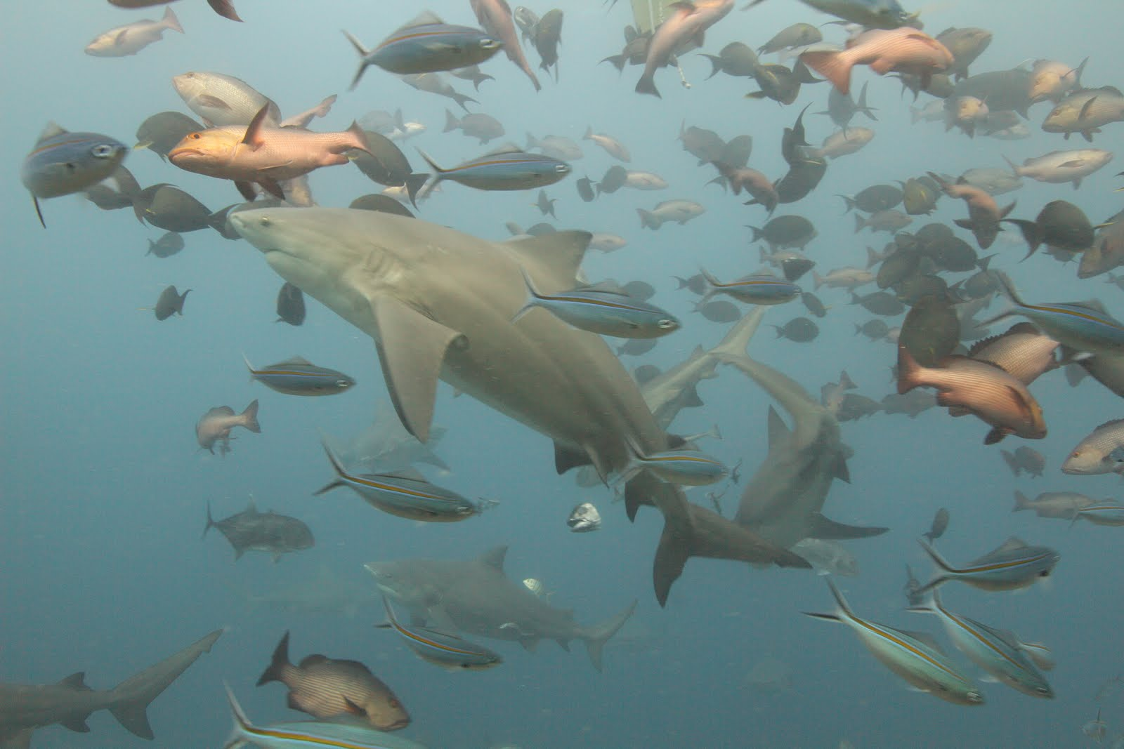 The Biggest Sharks in the World: Nightmares Beneath the ... |Worlds Largest Bull Shark
