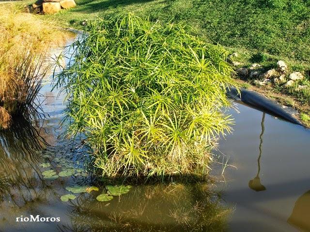 PARAGÜITAS: Cyperus alternifolius