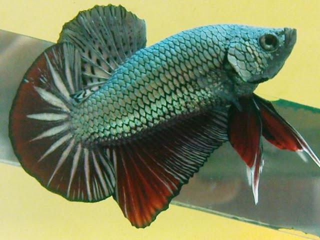 Dunia Ikan Hias - CUPANG PLAKAT (PETARUNG ATAU ADUAN)