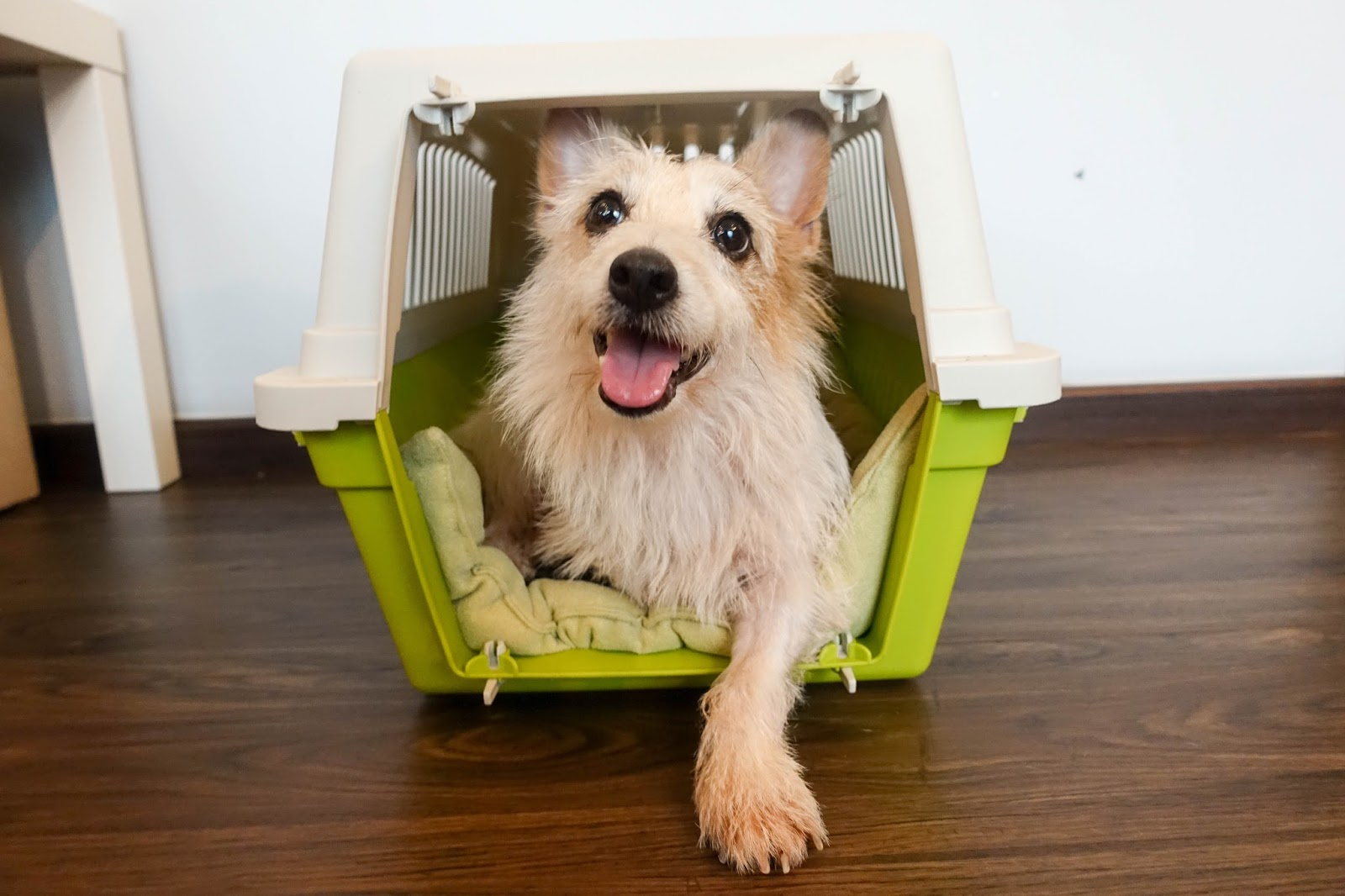 Prepare dog for travelling in crate