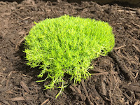 scotch moss