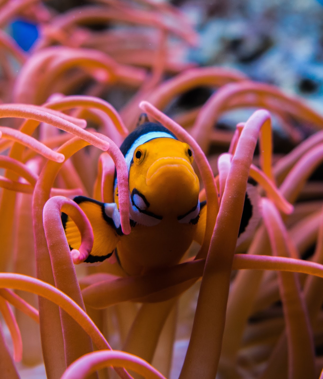 A clownfish inside poisonous anemone.
