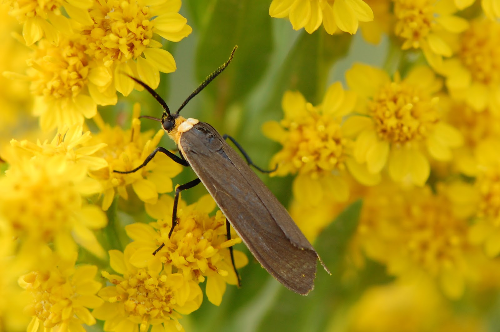 Meet the Yellow-collared Scape Moth