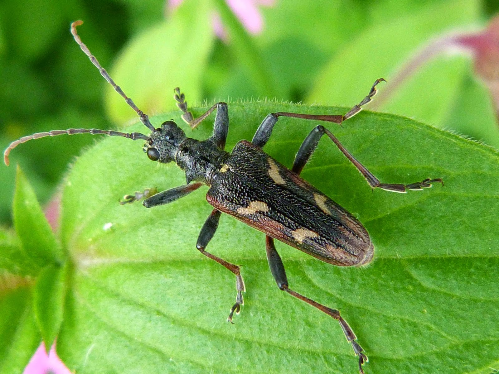 Insects of Scotland: Other Beetles