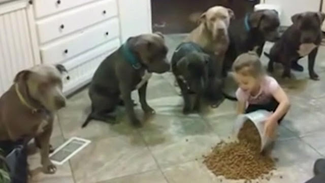 4 year old little girl feeding and controlling 6 pitbulls
