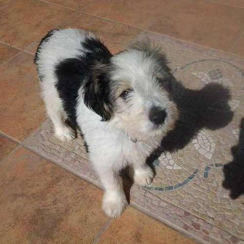 cachorro pastor catalán