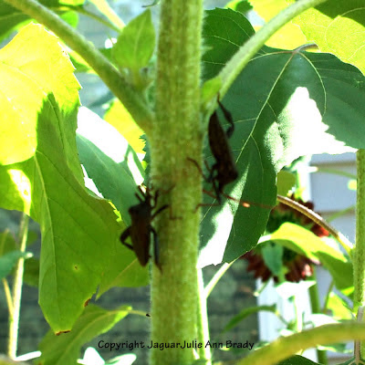 Two black leaf bugs on a sunflower plant stem