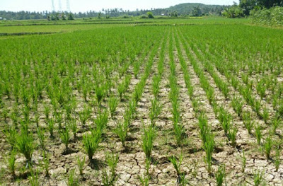 22 Hektare Sawah Karawang Terancam Kekeringan