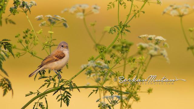 çulha kuşu Penduline tit