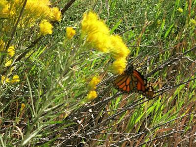 monarch butterfly, Devil's Backbone, Loveland, CO