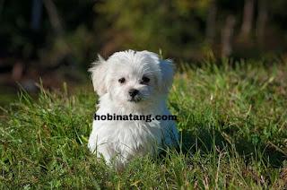 anjing Hewan Peliharaan Lucu di Rumah yang Mudah Dipelihara dan Murah