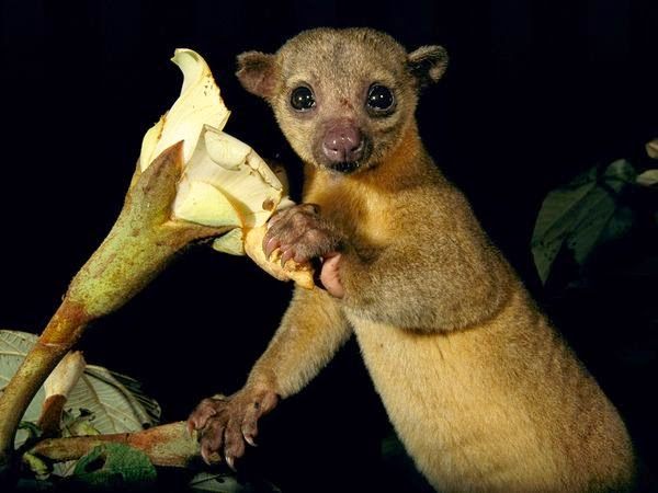 Kinkajous, Kinkajou Pictures, Kinkajou Facts - National Geographic