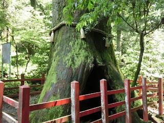 箱根神社安産杉