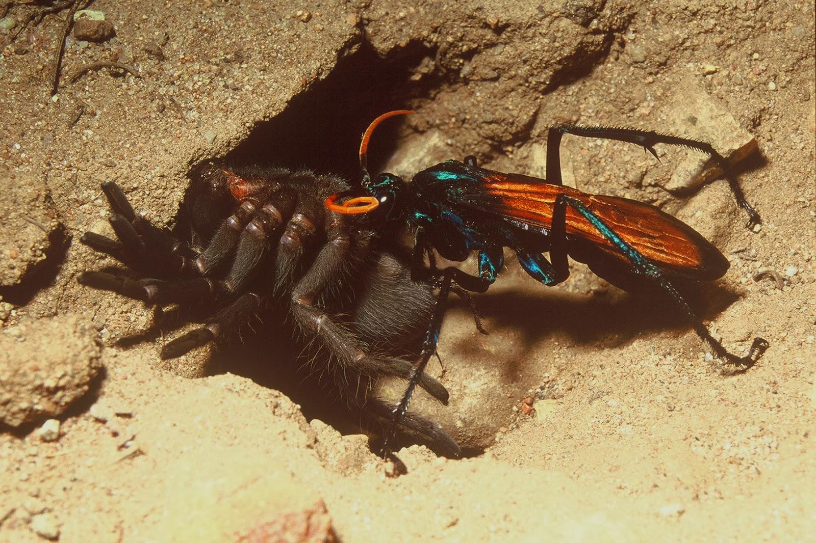 Las avispas comen arañas