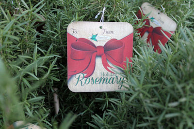 The Herb Gardener Keeping A Rosemary Christmas Tree Alive