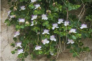 Capparis spinosa plant