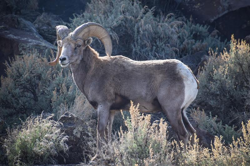 Bighorn sheep in Rio Grande del norte national monument