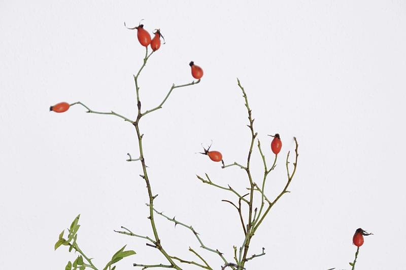 Hagebuttenzweig als Herbstdeko | Ideen für deine Herbstdeko | Tasteboykott
