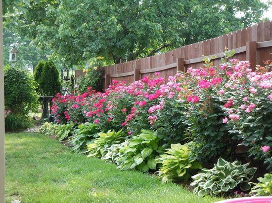 Các bụi hoa hồng bên hàng rào gỗ