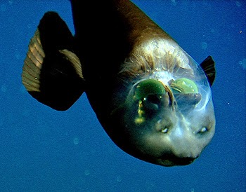 Pacific barreleye looking up despite facing downwards