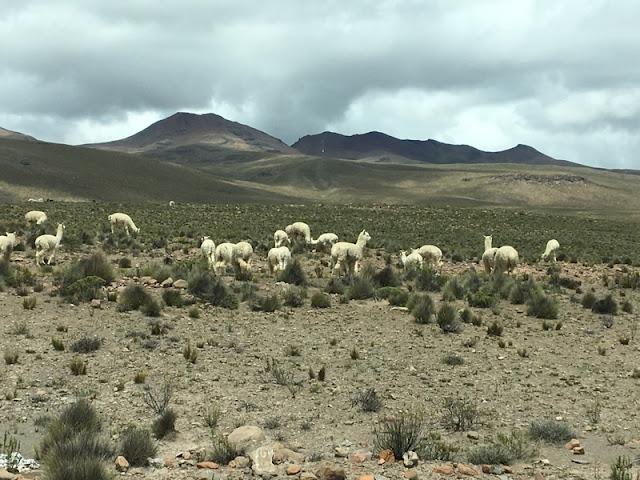 alpacas in Arequipa Province, Peru