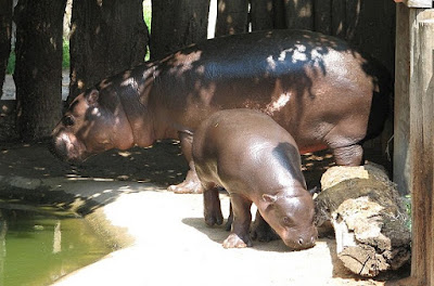 pygmy-hippopotamus-فرس-النهر-القزم