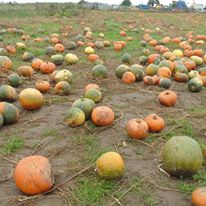 Pumpkin patch farmer Copleys Yorkshire